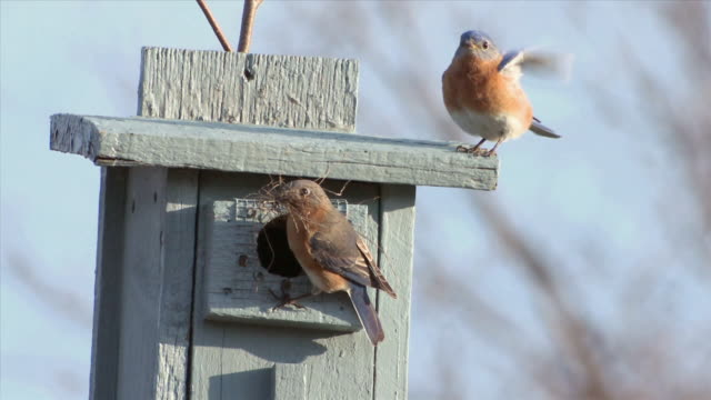 WS Male and female eastern bluebirds at nest box with grasses / Tweed, Ontario, Canada