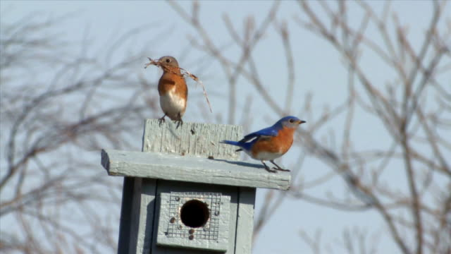 WS Male and female eastern bluebirds flying to nest box with grasses / Tweed, Ontario, Canada