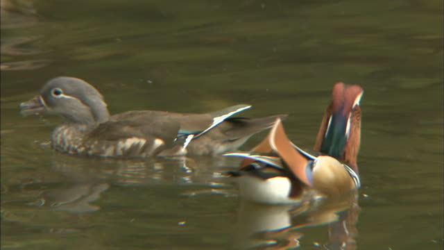 Male and female mandarin ducks  Medium shot