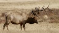 MS Male and female moose grazing on grassy land / Yellowstone National Park, Wyoming, United States