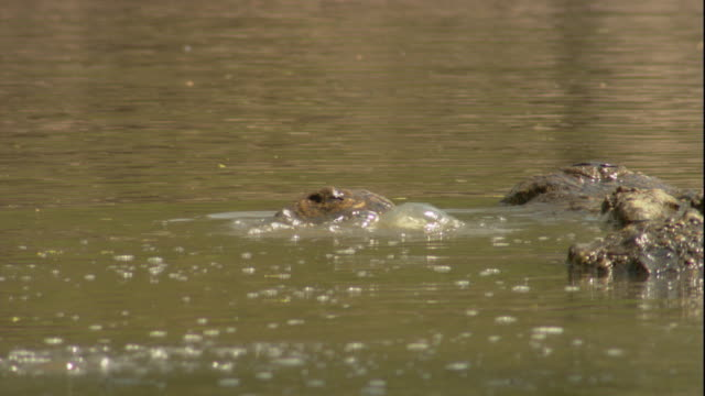A male and female Nile crocodile court in a waterhole. Available in HD.