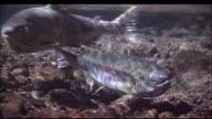 Male and female salmon prepare for spawning, Shiretoko, Hokkaido, Japan, Diving Shot
