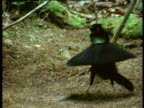 Male Arfak Parotia bird of paradise dances and displays to female, weird, beautiful and funny routine, New Guinea
