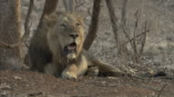 A male Asiatic lion (panthera leo persica) lying down and panting against a tree stump in the desert bushes