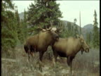 Male attempts to mate with female, female walks away then looks at male until he walks off, Alaska