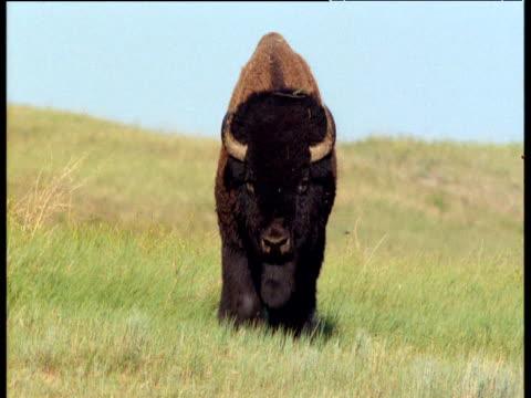 Male bison walks towards camera over badlands, South Dakota