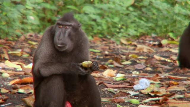 CU Male black macaque feeding on forest floor / Sulawesi, Indonesia