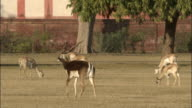 Male Blackbuck walks through parkland surrounding the Tomb of Akbar the Great Available in HD.