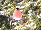 Male Bullfinch on the Branch