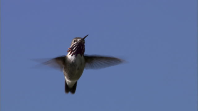 Male Calliope hummingbird (Stellula calliope) hovers, Yellowstone, USA