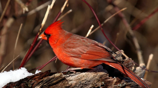Male cardinal eating seeds