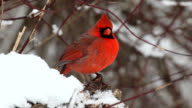 Male cardinals puffing feathers