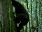 Male chimp drums his feet excitedly on buttress roots of tree in forest, Uganda
