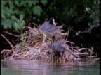 Male Coot approaches nest with mother and chicks, climbs out of river to feed young then swims away
