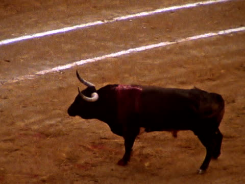 Male Cow at a Bullfight