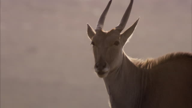 A male eland vocalizes and stares. Available in HD
