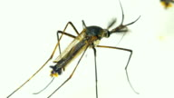 Male Elephant Mosquito (Toxorhynchites splendens)