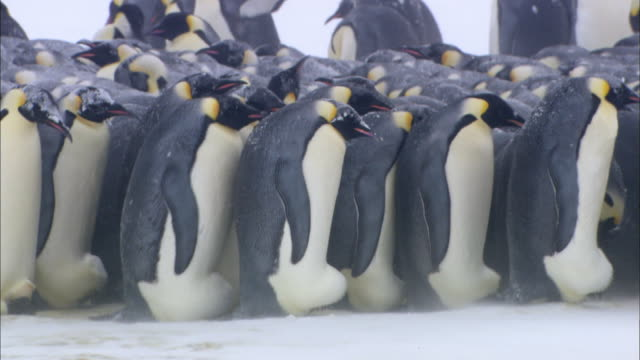 Male Emperor Penguin colony waddling
