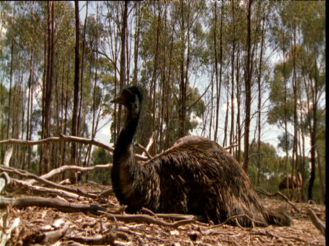 Male emu sits on nest in forest, Victoria, Australia