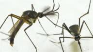 Male Female Elephant Mosquito (Toxorhynchites splendens)
