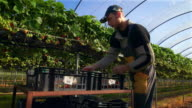 Male fruit picker harvests strawberries in poly tunnel.