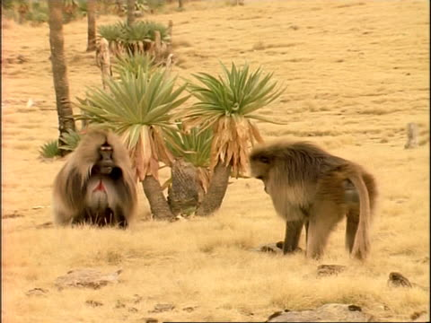 MS Male gelada baboon approaches another, who grimaces, 1st baboon walks away, Ethiopia, Africa