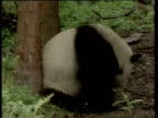 Male giant panda scent marks by rubbing his behind on a tree