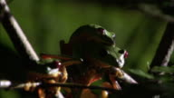 Male gliding leaf frog (Agalychnis spurrelli) jumps off female, Costa Rica