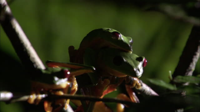 Male gliding leaf frog (Agalychnis spurrelli) jumps off female, Costa Rica