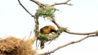Male Golden Weaver make a nest.