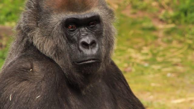 Male Gorilla Sitting in Captivity