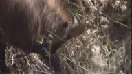 Male Himalayan tahr browses, Nepal Available in HD
