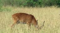 Male impala side view