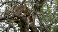 Male leopard feeds on impala kill in buffalo thorn tree, Kruger National Park, South Africa