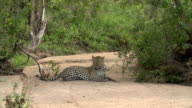 Male leopard lies down in sandy riverbed in the open , Kruger National Park, South Africa