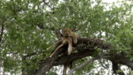 Male leopard lies over impala kill, stashed in tree, snarls a bit, Kruger National Park, South Africa