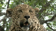 CU male leopards face in a tree, Kruger National Park, South Africa