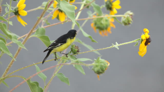 Male Lesser Goldfinch Eating Sunflower Seeds, Colorado