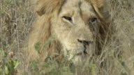Male lion gets up, moves lightly then lies down again.