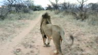 Male lion looking down sand road, then turns and walks towards camera
