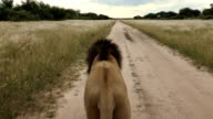 Male Lion(Panthera leo) point of view walking down dirt road