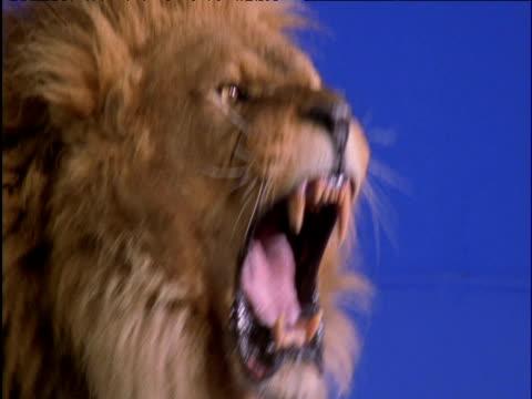 Male lion snarls against blue background