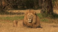 Männliche Löwe