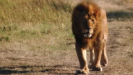 MS Male lion walking along track through grassland / Masai Mara, Kenya