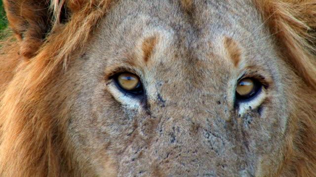 Male Lion yawning/ Kruger National Park/ South Africa