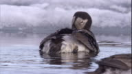 A male long-tailed duck preens on frozen sea in Arctic Canada. Available in HD.