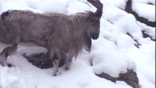 A male markhor walks along a rocky snow-covered mountainside. Available in HD.