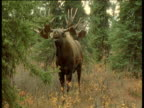 Male Moose calls, branch hangs off of one antler, Alaska