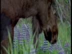 Male moose grazes in lupin meadow, Alaska