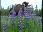 Male moose in lupin meadow, Alaska